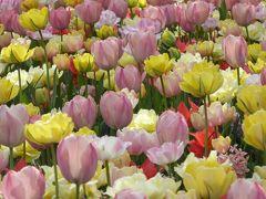 春爛漫の優雅な横浜♪ Vol25 ☆山下公園:豪華客船の見える花の風景♪