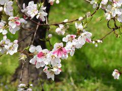 飯坂温泉 40品種に及ぶ「花ももの里」 2017(福島)