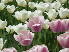 春爛漫の優雅な横浜♪ Vol29 ☆横浜公園♪ 16万本の広大なチューリップ♪