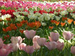 春爛漫の優雅な横浜♪ Vol31 ☆横浜公園♪ 再び16万本のチューリップの庭園を愛でる♪
