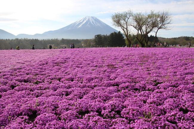 富士芝桜まつりが見頃を迎えているとのことなので、出かけてきました。<br />ゴールデンウィーク中は、朝6時オープンとのことなので、朝4時に自宅をスタートし途中朝食をとり、富士芝桜まつりの会場には、6時半前に到着しました。<br />約1時間半芝桜と富士山を眺め、富士山を挟んで反対側の山中湖の花の都公園に向かい、チューリップやネモフィラ、枝垂れ桜と富士山を眺めた後は、水芭蕉を目当てに長野県の乗鞍高原に向かい、休暇村に宿泊としました。<br /><br />世の中は、ゴールデンウィーク最終日ということで、高速道路もいつもより空いていて快適でした。