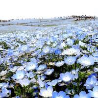 団塊夫婦の欲張りな花巡りドライブー(2)ちょうど見頃だったネモフィラ・ひたち海浜公園