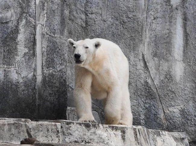 1年ほど前でしょうか?<br />とある動物園で人間に育てられた白熊がいるとTVで放映されていました。<br />それを見た白熊大好きな息子が一言。<br />「白熊ピースに会いたい!」<br /><br />・・・またまたー。<br />これ何年前の話よ。。。この白熊、日本の動物園で飼育されているの?って思って調べたら、愛媛県の砥部動物園という所で、飼育されて現在も生きているとのこと。<br />愛媛か・・・行ったことないなー・・・と言う事で企画をしていると、広島に前から行きたいと言っていたパパが<br />「ねー。その旅行広島も追加できないかなー?!」<br />と言い出し、旅程が決定。4トラでも質問させて頂き、これに加えてしまなみ海道も渡ってみたい!ということになり、レンタカーを借りていざ出陣!<br /><br />GWということもあり、費用が半端ない感じになってきて、特約航空券を狙ってみましたが、9:30の販売で9:30前にアクセスして待ってみるも、PCが固まり、1分程で虚しく満席(笑)しかも行きの羽田→松山路線・・・高いじゃないか・・・まあ、毎日働いているし、いいとしようかな。。。<br /><br />と言うことで行っってきました!愛媛&広島旅行へ!<br /><br />《旅程》<br />1日目:5/3(水):松山空港着・砥部動物園&松山城&道後温泉<br />2日目:5/4(木):道後温泉・別子銅山改め、石鎚山・しまなみ海道<br />3日目:5/5(金):しまなみ海道・広島LECT・原爆ドーム・広島平和公園<br />4日目:5/6(土):宮島・厳島神社・広島市内<br />5日目:5/7(日):広島空港→羽田空港<br /><br />《旅費》5/3~5/7 4泊5日<br />□リムジンバス(全工程合計)\10,360<br />□お菓子\583<br />□飛行機\111,010(¥31,510はクーポン)JAL<br />□レンタカー\39,420<br />□砥部動物園入園料と駐車場\1,500<br />□飲み物食べ物\1,743<br />□ランチ 東雲\3,010<br />□お土産\3,234<br />□松山城\1,320<br />□駐車場代\500<br />□道後温泉大和屋本店(1泊2食)\70,902(¥5,500はクーポン)<br />□道後温泉本館\420(パパのみ)<br />□飲み物\84<br />□石鎚山駐車場\700<br />□ランチ福銘源\1,645<br />□石鎚山ロープウエイ\5,860<br />□瀬戸内荘(1泊2食)\24,240<br />□しまなみ海道:高速料金(広島まで)\4,000<br />□蔦屋書店 本を買う\1,782<br />□ランチ LECT\2,667<br />□ガソリン代\2,522<br />□はっさく大福\165<br />□広島平和記念資料館\400<br />□電車代\1,710<br />□安芸グランドホテル(朝食付)\22,300(¥2,000はクーポン)<br />□ディナーかき小屋\4,000<br />□飲み物\450<br />□ナイトクルーズ\6,000<br />□宮島観光フェリー往復\1,080<br />□タクシー\870<br />□宮島ロープウエイ\5,400<br />□厳島神社\800<br />□ランチ:とりい\4,750<br />□広島電鉄\780<br />□リーガロイヤルホテル(素泊まり)\36,000<br />□ディナー:ANDERSEN\5,346<br />□紀伊国屋書店 本を買う\1,036<br />□朝食:そごうでパン\928<br />□ランチ\3,200<br />■合計\382,717\39,010(クーポン摘要額) 合計:¥421,727