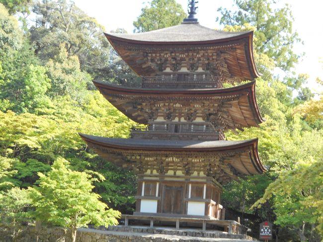 滋賀県の「湖東三山」(西明寺・金剛輪寺・百済寺)を訪ねた<br /><br />テレビで美しい国宝の三重塔を見て、西明寺を訪ねようと計画しました。彦根観光協会から資料を送ってもらったり、「五木寛之の百寺巡礼・ガイド版第四巻」を買ったりしたら、この地区の三古寺に「湖東三山」という括りがあることを知りました。<br />この湖東三山は、琵琶湖の東の山すそで名神高速道路の東側に、北から西明寺、金剛輪寺、百済寺と並んでいます。これら三山を訪ねることとしましたが、現実はそれぞれをつなぐ交通網がないので主にタクシーを使いました。<br />いずれも山門から本堂までの登りが遠くて疲れました。<br />それぞれの古寺について簡単に説明しておきます。<br /><br />西明寺(さいみょうじ)<br />初日に彦根からタクシーで訪れました 片道5000円くらい。帰りは1時間前に予約する「愛のりタクシー」でJR駅まで戻った(一人900円)。<br />平安時代初期の834年に創建され、日本100古寺に選ばれた天台の古刹。本堂は鎌倉時代を代表する建造物で国宝第一号。本尊は秘仏薬師如来で、釈迦如来、不動明王(いずれも重文)や十二神将などと共に本堂に安置されている。説明つきで拝観できる。<br /><br />国宝の三重塔は総檜造りの優美な塔で、初層内部の極彩色の壁画が有名。今回は公開最後の日だったので中に入って鎌倉時代の壁画を拝見してきました。700年を経たとは思えないほど保存が良く、見事で感動しました。<br />名勝指定の庭園「蓬莱庭」は秋の楓が見事とされる。<br /><br />金剛輪寺(こんごうりんじ)<br />二日目に稲枝駅からタクシーで訪れました。公共交通がないのでタクシーを待たせておいて百済寺にも行き、そのタクシーで稲枝駅まで戻りました(1万8000円くらい)。<br />聖武天皇と行基によって741年に開山され、のちに慈覚が住した天台の巨刹で、千体地蔵も祀られている。<br />本堂は鎌倉時代の代表的な和様建造物として国宝指定されている。本尊は秘仏聖観音像で住職一代に一度だけ公開するという。ほかに阿弥陀如来、十一面観音など十一体の重文指定の仏像が安置されている。<br />三重塔と二天門は重要文化財。これら3棟の建物は信長の焼き討ちから逃れ得たが、百済寺と共謀したと判じた信長勢によって多くの堂宇が失われた。<br />今回は 大きな曼荼羅が特別公開されていた(5月1日から20日まで)<br />桃山から江戸期に作庭された庭園は国指定の名勝。<br /><br />百済寺(ひゃくさいじ)<br />聖徳太子が606年に渡来人のために創建した近江で最古の古寺。本尊は像高2,6メートルの十一面観音。御堂は百済の「龍雲寺」を模して造られ、開山法要には高句麗僧が招かれ、以後も渡来僧の居住が多かったという。<br />鎌倉時代からは「天台別院」とされ、1300人が居住する巨大寺院となって、湖東の小叡山と呼ばれ、ルイスフロイスが地上の天国と呼んだほど隆盛を極めた要塞寺院だったが、信長に抗した佐々木義治、森備前などが鯰江城に籠った際、当山宗徒が食料を送り、妻子を寺内にあずかるなど援助したため、1573年に織田信長にすべて焼き尽くされた。<br />戦火を逃れたのは本尊の十一面観音像などわずかだが、江戸期に信長を討った光秀の後身とも言われる天海僧正の高弟が入山して本堂や山門が再建されている。秘仏の金銅弥勒菩薩半か思惟像は焼き払われた本堂跡地から発見されたもので百済から持ち込まれた稀有な像とされている。<br />見どころの一つ、喜見院の庭園は見晴らしがよく、信長がここから石を運んだと言われる安土城の安土山が見える。<br />境内の大半は石垣しかないが国指定の史跡である。<br />