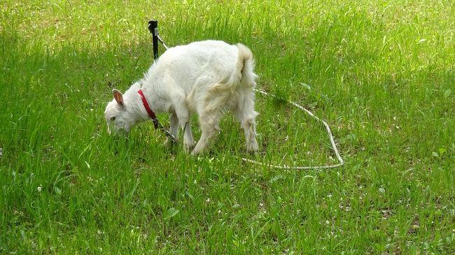 日本最古の道  山辺の道 海石榴市の猫からヤギさんの草刈りまで