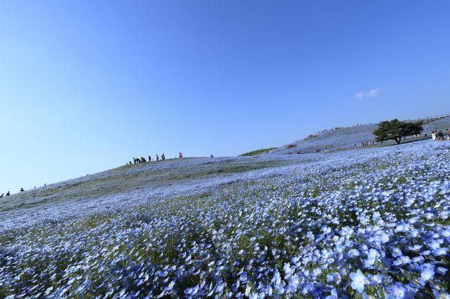 №3は茨城県編です。<br />3日目も天気に恵まれ、今回の旅行のメインとなるひたち海浜公園のネモフィラを見学します。<br />4日目は、天気は少し下降気味。<br /><br />茨城県の行程を紹介します。<br />3日目 5月8日(月)<br />千葉県=ひたち海浜公園15:15到着=水戸 17:30到着【泊】258km<br />4日目 5月9日(火)<br />ホテル7:45出発=水戸偕楽園=竜神大吊橋=袋田の滝=栃木県に向かいます<br /><br />今回の旅行のメインであるひたち海浜公園のネモフィラは、少し遅めでした。聞くところによるとゴールデンウイークが最高とのことでしたが、天気にも恵まれ最高でした。平日にかかわらず混んでいましたよ。<br />また、当初考えていたスケジュールから変更して、急きょ竜神大吊橋へ行くことに。ここもまた見ごたえがありました。<br />袋田の滝は、水量不足でちょっとがっかりでしたが、素晴らしい茨城県の旅を満喫しました。<br /><br />続きは、№4栃木県です。是非見てくださいね。<br />