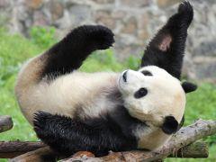 中国四川省~世界遺産、三国志、熊猫、麻辣を楽しむ10日間⑥~6日目:大熊猫保護研究中心都江堰基地(都江堰熊猫楽園)でパンダ抱っこ!