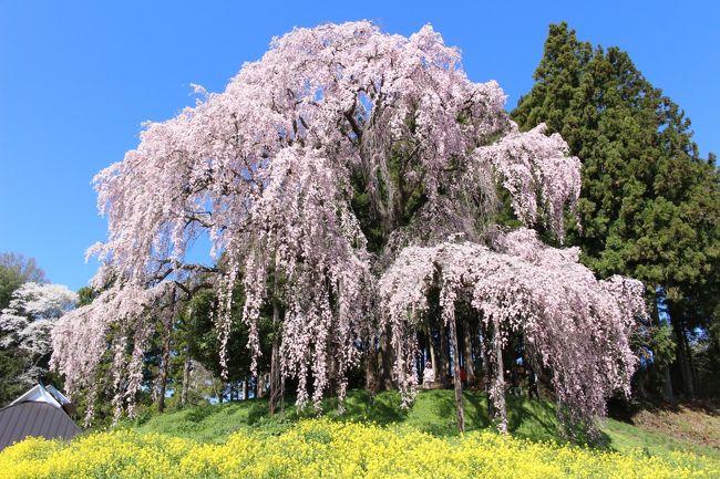 前の週に、福島・花見山と白石川堤の一目千本桜を見に行ったばかりなのに、<br />いつか行きたいと思っていた三春の滝桜が見頃との情報を得て、<br />2週続けて福島の桜を見に行ってみました。<br /><br />三春の滝桜の周辺の桜の名所を巡ってみましたが、福島の桜はすごかったです。<br /><br />以下行程<br /><br />1日目<br />三春・滝桜、紅枝垂地蔵ザクラ、五斗蒔田桜、上石の不動ザクラ、お城坂枝垂桜、八十内かもん桜、<br />七草木の天神桜、塩ノ崎の大桜、合戦場のしだれ桜、中島の地蔵桜<br />夜桜(中島の地蔵桜、合戦場のしだれ桜、三春・滝桜)<br /><br />2日目<br />合戦場のしだれ桜、祭田の桜、福田寺の糸桜、愛蔵寺の護摩桜、中島の地蔵桜<br />霞ヶ城公園、藤田川ふれあい桜<br /><br /><br />表紙は、菜の花とのコラボがきれいだった、合戦場のしだれ桜。<br /><br />ちなみに、まさかこの時その後にまた、福島の桜を見に行くことになるとは思っていなかったです。なので今回はそのVol.1です。<br />(実際は、福島・花見山に続いて第2弾ですが、第3弾がありました)