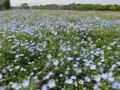 2017春、蒲郡と浜松の花巡り(6/16):5月1日(6):浜松(1):浜名湖ガーデンパーク(1):ネモフィラ、芍薬、オオデマリ