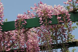 2017春、蒲郡と浜松の花巡り(8/16):5月1日(8):浜松(3):浜名湖ガーデンパーク(3):花の美術館、藤棚、チューリップ