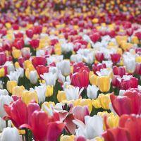 花咲く札幌