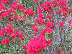 2017春、蒲郡と浜松の花巡り(14/16):5月1日(14):浜松(9):浜松市フラワーパーク(3):ノムラモミジ、紫蘭、ヤマブキ、藤、サツキ、里桜