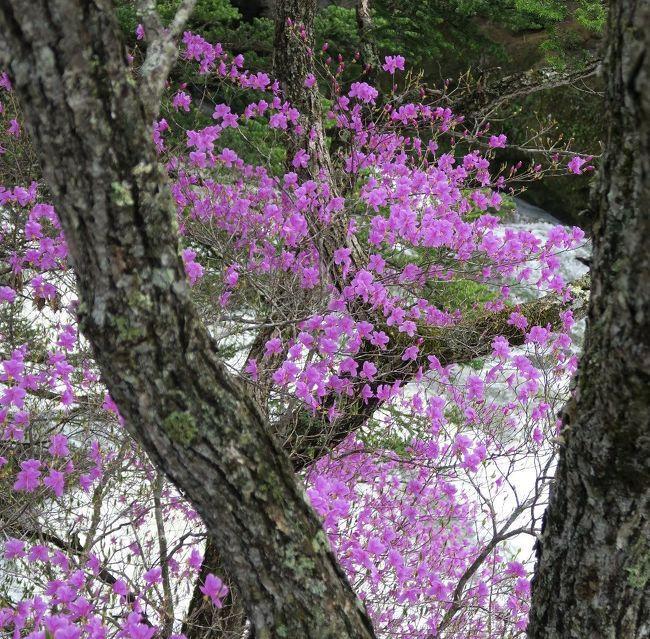 (竜頭の滝,トウゴクミツバツツジ)<br /><br />春は奥日光の季節です。特に五月から七月にかけて種々の花が次々と咲いてきます。今回はシャクナゲとトウゴクミツバツツジ中心に廻ります。<br /><br />特に自生、群生、国産シャクナゲにこだわる筆者としては湯の湖西岸は欠かせないポイントのひとつとなります。今回もう一つの目玉は千手が浜に勝道上人の開いた千手観音堂が再建されたこと。<br /><br />西ノ湖周辺は今月24日にも熊が出没しているので注意が必要です。見上げれば山端や日陰にはまだまだ残雪があります。<br /><br /> <br /> ・楚々として石楠花のあるそこに在る<br /><br /> ・寂しさに悲しみ重ね残り雪<br /><br /> ・故郷のクラスメイトの幼顔<br />     浮いては消えてまた浮かぶ    -悠遊人-