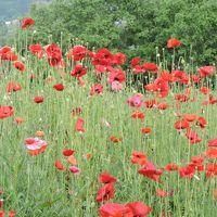 人も歩けば花に会える!ポピーがいっぱい、こんなところがあったのね!「上山」
