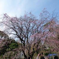 07.年度替わりの鎌倉1泊 六義園(りくぎえん)その1 三分咲きのしだれ大桜 園内散策