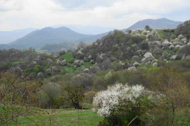 2017年のGWはコーカサス3国へ。中でもアルメニアが第一の目的でした。<br /><br />その3は、2カ国目のジョージア。トビリシからカヘティ地方へ。ここは無形文化遺産にも登録されている、伝統的なワイン造りを続けている場所。杏やりんごの花が咲く桃源郷のような峠道を越えて、ワイナリーを訪問しました。<br /><br />・トビリシからカヘティ地方へ<br />・テラヴィの要塞<br />・ディミトリさんのワインハウス見学<br />・ワインハウスでの食事<br />・1,620mのゴンボリ峠を超えるとそこは桃源郷<br /><br />表紙写真は、ゴンボリ峠あたり風景。