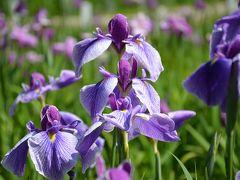 横須賀しょうぶ園とヴェルニー公園で花鑑賞して来ました。
