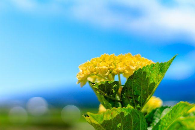 関東では今年の梅雨はいよいよ今週から始まる。<br />いつも紫陽花は梅雨時期に見てきたが、今年は過ごし易い時期に紫陽花を鑑賞してみようと今まで一度も訪れていなかった開成町の紫陽花を見に行ってきました。<br />宜しければご覧下さい。<br /><br /><br />開成町あじさい祭り<br />開催期間:6/3~6/11<br />http://kaisei-ajisai.com/