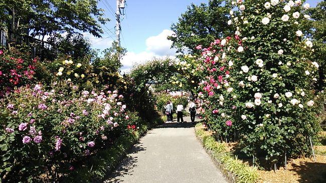 ご覧戴きましてありがとうございます。<br /> 2017年6月7日現在、2017年5月27日の土曜日から2017年6月11日の日曜日までの間、長野県北部に位置する中野市では「第24回信州なかのバラまつり」というイベントが開催されています。<br /> このイベント、一本木公園という公園で開催され、場内では薔薇をはじめ、850種2500株からなる色とりどりの花を観覧できる他、野外ステージではジャズやギター等の演奏が披露、また出店テントでは様々なグルメ等を楽しむことが出来ます。ちなみに観覧するには500円の入場券が必要です。<br /> 今回は2017年6月4日の日曜日に長野電鉄を利用してこの「信州なかのバラまつり」を観覧した時の様子をご覧戴きます。<br /> 今回は基本的にコメントの掲載を割愛したいわゆる手抜き旅行記ですのでご了承の上、ご覧戴ければ…と思います。また今回の旅行記は花をご覧戴くのがメインの為、鉄道好きの皆さんには物足りないと思いますが、旅行記後半の一部で鉄道に関する話題にも触れていますのでよろしければご覧ください。<br /><br />