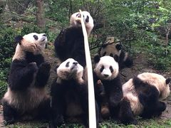 中国四川省~世界遺産、三国志、熊猫、麻辣を楽しむ10日間⑨~八日目:成都大熊猫繁育研究基地でパンダ三昧!!