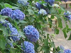 さつき・紫陽花が見頃の六義園を散歩            :*:・゜'★.。・:*:・゜'☆♪