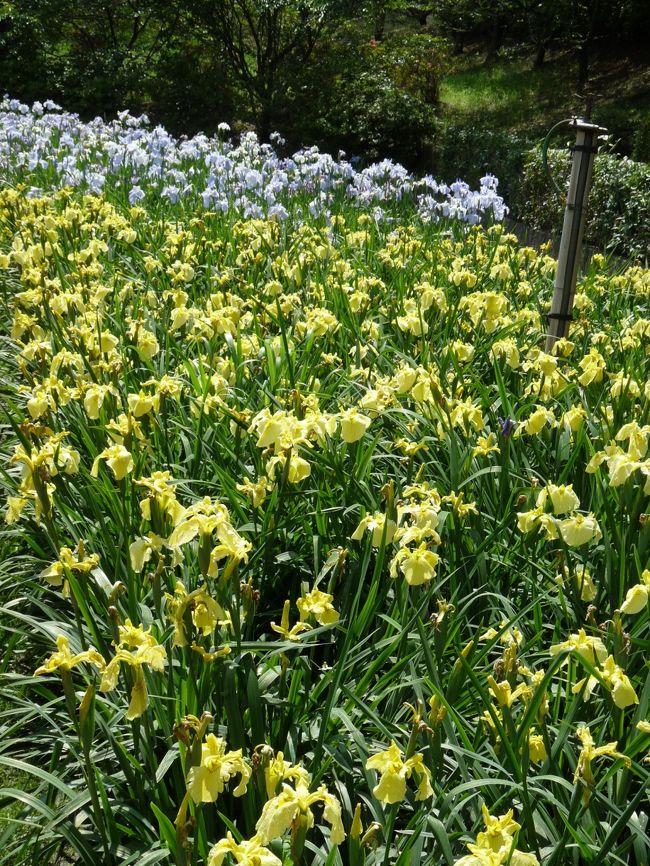 前回(6月6日)から3日しか経っていませんが、もう一度「館林花菖蒲園」に行ってみました。3日しか経っていませんが、かなり開花が進んでいて、北側は8~9割、南側は5~6割くらい咲いていました。開花が進むと、早く咲いた花の花ガラが増えてしまいますが、10日(土)、11日(日)のイベントで、花摘み娘が花ガラを摘む予定なので、より綺麗に咲き揃ったハナショウブを楽しめるようになると思います。
