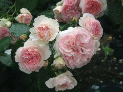 Japan 雨あがりの生田緑地 季節限定のばら苑と日本民家園 ~ミツバチばあやの冒険~
