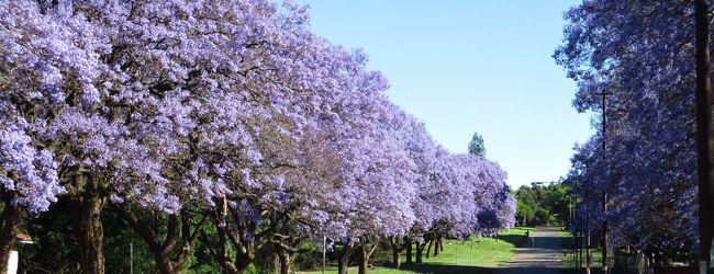 南部アフリカのジャカランタ、乾季のヴィ...