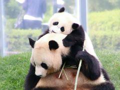 Wパンダの赤ちゃんの成長ぶりが見たくて初夏の南紀白浜アドベンチャーワールド再訪(4)ジャイアントパンダ親子特集:子育て上手の子煩悩な良浜ママと冒険心旺盛な結浜ちゃん