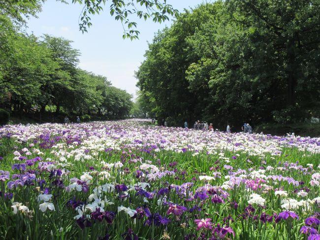 菖蒲は少し地味なイメージを持っていたのですがf^_^;<br /><br />今日 改めました!<br /><br />川のように咲き誇る 満開の花しょうぶ  美しかったです