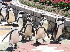 Wパンダの赤ちゃんの成長ぶりが見たくて初夏の南紀白浜アドベンチャーワールド再訪(6)復活したペンギンパレードや鳥たちの展示&大きくなっても甘えん坊なアルパカ坊や&ホッキョクグマはちょぴり