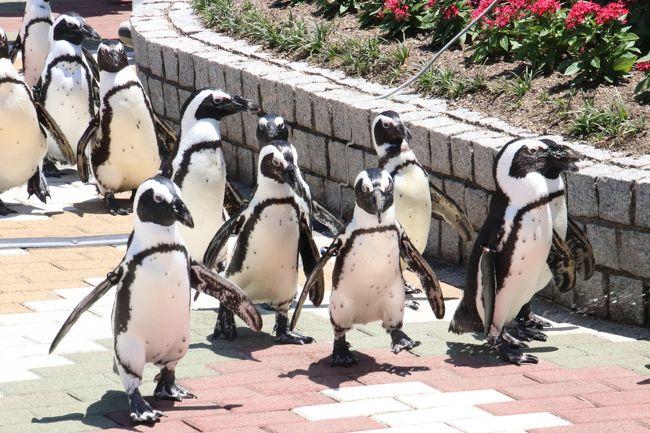 動物園に鳥が戻って来ました!<br />鳥インフルエンザ収束を受けて、展示やイベントを控えていた各地の動物園に鳥が戻って来たのはしばらく前からの話ですが、前回アドベンチャーワールドを訪れたのは、まだその鳥インフルエンザ対策のために自粛中の今年2017年1月末でした。<br />ペンギンパレードは本来、冬こそハイシーズン。<br />アドベンチャーワールドではケープペンギンたちは1年中頑張っていますが、冬になるとキングペンギンが登場したり、多いときには4種類のペンギンパレードが行われたものだったのに、今シーズンの冬はそれが一切なくなってしまって残念でした。<br />せめてお散歩という形で見学者と対面できる形のイベントとして残してくれたのはありがたかったとはいえ。<br />なので今回の再訪では、ペンギンパレードを楽しみにしていました!<br /><br />というわけで、今回も平日の金曜日と土曜日の2日訪れて、ペンギンパレードはどちらも見学しました。<br />ウィークデイとウィークエンドでバージョンが違うこともあるのですが、今回は特に違っていなかったようです。<br />ただ、この時期の金曜日は、いろんなイベントにぎりぎりに駆けつけても、場所を確保できると油断してしまったので、金曜日はペンギンたちがペンギン王国の建物からやってくるところからは見られませんでした。<br />土曜日は最初から見学することができました。<br />何度も見るチャンスがあったペンギンパレードですが、ペンギンたちのよちよち歩きはほんとに可愛らしかったです。<br />この冬は見ることができなかったのでなおさら。<br /><br />エントランスドームの人工池のペンギンたちや、軽食喫茶の前のハリスホークとメンフクロウの展示も復活しました。<br />それらは写真を撮りました。<br />ふれあい広場のフラミンゴやパンダ花壇のコンゴウインコたちの写真は撮らなかったですが、鳥たちのおかげであたりの華やかさが増して、なんだか嬉しくなりました。<br /><br />去年2016年11月30日に生まれたアルパカ坊やは、ファミリー広場でまだお母さんと同居していました。<br />もうすっかりお母さんと変わらない大きさになっていましたが、まだ顔が童顔だったのがちょっとおかしかったです。<br />しかも、まだお乳を飲んでいました。途中でママに拒否されていましたけど。<br /><br />今回はペンギン王国と海獣館に足を運ぶ時間がほとんどありませんでした。<br />ペンギン王国のラッコの食事タイムはチェックしていましたが、出向くことができませんでした。<br />海獣館のホッキョクグマのおやつタイムは、以前しっかり見学できたときがあったので、今回はまあいいやと思い、ゴーゴーくんとライトくんの写真をちょっとだけ撮りに行きましたが、ガラス面のためにピントが非常に甘い写真になってしまいました。<br /><br />最強トリプル赤ちゃんのうちのエンペラーペンギンを見に行き損ねましたが、おそらくいまはもう大人と同じ姿に成長し、他の仲間と同居しているに違いありません。<br />それで見分けがつかないだろうと思って、今回は見に行くのを割愛してしまいました。<br />でも、もう8度目の再訪ですし、またぜひ再訪したいと思っているアドベンチャーワールドなので、特定の目的の子に時間をかける一方で、割愛せざるを得ない子やエリアが出て来てしまうのは仕方がないと割り切っています。<br /><br /><通算8回目で初夏は初めての南紀白浜の旅行記(2017年6月1日(木)前泊~2017年6月3日(土)のシリーズ構成><br />□(1)新宿バスタから明光バスでの夜行バス往路&湯快リゾート千畳の温泉ホテル1泊&白浜グルメ1日目<br />□(2)楽しいショッピングと白浜みやげ&ホテルの朝食から白浜グルメ2日目&西武バスでの夜行バス帰路<br />□(3)レッサーパンダ特集&ジャイアントパンダーの大人編:見違えるほど可愛くなったレッサーパンダの仁くん&中国お婿お嫁入り前の海浜くん・陽浜ちゃん~優浜ちゃんには会えず<br />□(4)ジャイアントパンダ親子特集:子育て上手の子煩悩な良浜ママと冒険心旺盛な結浜ちゃん<br />□(5)ふれあい広場編:カバの歯磨きイベント&コツメカワウソも食後の歯磨きをする@<br />■(6)復活したペンギンパレードや鳥たちの展示&大きくなっても甘えん坊なアルパカ坊や&ホッキョクグマはちょぴり<br />□(7)マリンライブとアニマルアクションで新しいカメラEOS Kiss X9i の手応えあり(?)<br />□(8)初夏のウォーキングサファリは動物の赤
