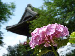 能護寺のアジサイ_2017(1)_開花は4割くらいですが綺麗です。(埼玉県・熊谷市)