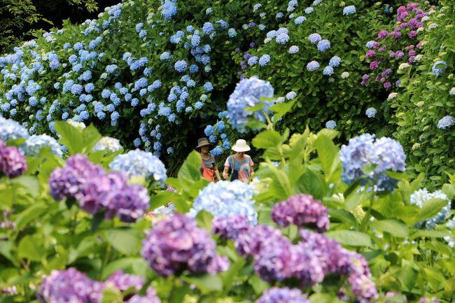 今年最初のあじさい行・・・<br />当初、愛知県蒲郡の形原温泉あじさいの里へ行く予定でホテルも予約していたのですが、その後予定を変更、一泊二日(6/15~16)で 15万株の紫陽花が見頃となった下田公園の紫陽花を見に行ってきました。<br />山全体を15万株 300万輪の紫陽花が埋め尽くす様は、まさに絶景そのものでした。 <br />6/15は下田公園のあじさいを、翌16日は伊豆半島の西側を北上して、あいあい岬~堂ヶ島~浮島海岸~黄金崎に立ち寄り、奇岩がつくる海岸美を楽しみました。