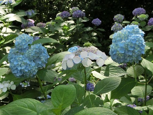 「万博記念公園・花ごよみ」によると、アジサイが咲く時期は6月中旬から7月上旬になっています。<br /><br />「花ごよみ」を参考に、大阪万博記念公園・自然文化園内の「あじさいの森」に行って来ました。<br /><br />天気予報は「晴れ・降雨確率10%」、花見物をするためには、絶好の天気でした。<br /><br />オッチャンは「アジサイ」に対する知識はありませんので、「万博記念公園だより(6月号)」・「あじさいの森・アジサイ品種紹介」・「インターネット」等を参考にして、ちょっとだけ勉強しました。<br /><br />また、品種名は「あじさいの森」にあった「立て看板」・「品種名平面図」を参考にして説明文を記入しました。<br />「立て看板」が無かったところは、オッチャンの独断で品種名を記入しているところもあります。<br />ミステイクがありましたらお許しください。<br /><br />そのような「旅行記」ですが、よろしければ、一見していただければ有難く思います。<br /><br /><br />【アジサイの豆知識】<br /><br />学名:Hydrangea macrophylla<br />和名:アジサイ・ガクアジサイ<br />品種:ガクアジサイ(額咲き)・アジサイ(手まり咲き)・セイヨウアジサイ・ヤマアジサイその他<br /><br />原種は日本に自生する「ガクアジサイ」です。<br />白色・青色・水色・青紫色・ピンク色・赤紫色・赤色等の萼(ガク)が大きく発達した装飾花をもっています。<br />「ガクアジサイ」では、萼(ガク)が花序の周辺部を縁取るように並び、園芸では「額咲き」と呼ばれています。「ガクアジサイ」から変化した、花序が球形ですべて装飾花となった「アジサイ」は「手まり咲き」と呼ばれています。<br />原産地は日本ですが、ヨーロッパで品種改良されたものは「セイヨウアジサイ」と呼ばれています。<br />アジサイは花の色がよく変わることから「七変化」「八仙花」とも呼ばれています。<br /><br />