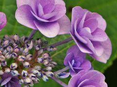 淡路島公園のアジサイとあわじ花さじきの三尺バーベナ