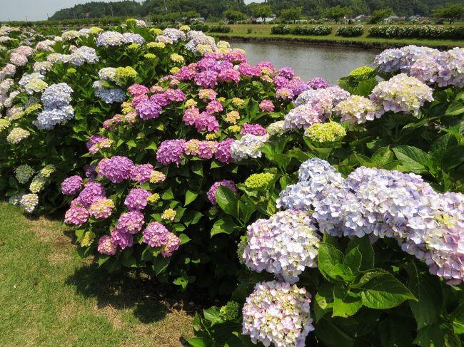 多古町散策・・日本寺あじさい庭園と栗山川あじさい遊歩道を訪ねます。
