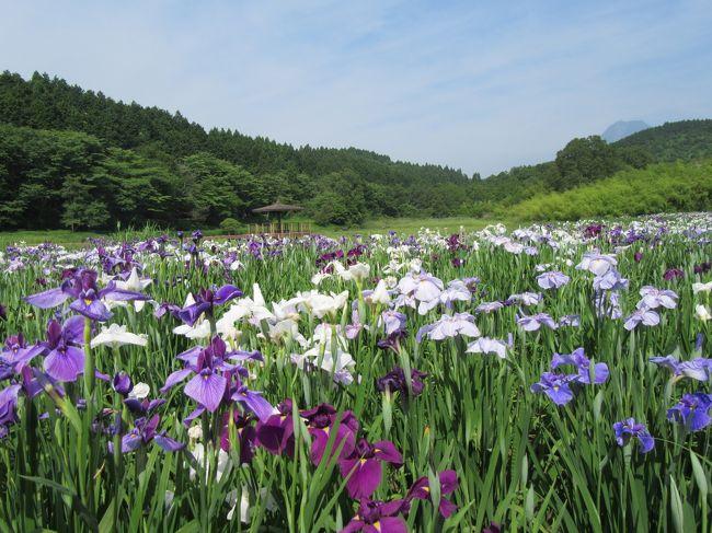 伝説の湖、神楽女湖は1万5千株のしょうぶが、ほぼ満開に咲き誇っていました。