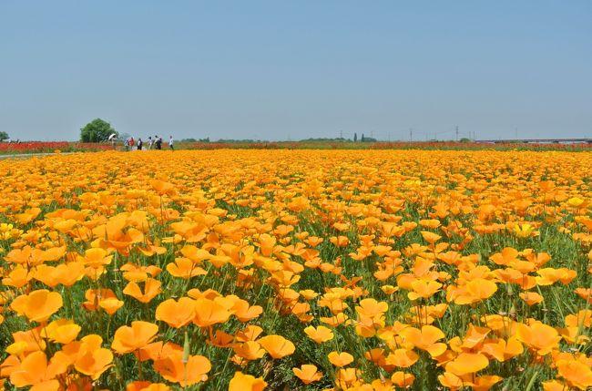 埼玉県鴻巣市で花まつりが行われており、日本一広いポピー畑と言われている馬室荒川河川敷(ポピー・ハッピースクエア)のポピーと麦なでしこ、花久(かきゅう)の里のバラを見てきました。<br />見渡す限りに広がる美しい花畑に感動しました。<br />各会場へは鴻巣駅から無料のシャトルバスがでていたので便利でした(土日のみ)。<br /><br />花を見た後は、近くにある鴻巣の名前の由来ともなった鴻神社と隣の北鴻巣駅にある氷川八幡神社、三ツ木神社の鴻巣三社を巡ってきました。