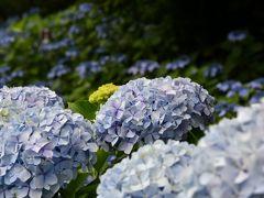 ぶらっと新宿御苑 #6月はアジサイとバラが楽しめました#