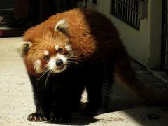 初夏のレッサーパンダ紀行【4】 羽村市動物公園&多摩動物公園 相変わらずお美しい玲玲さんに会えてとても嬉しいです@羽村 新天地にはもう慣れましたか?桃花ちゃん@多摩