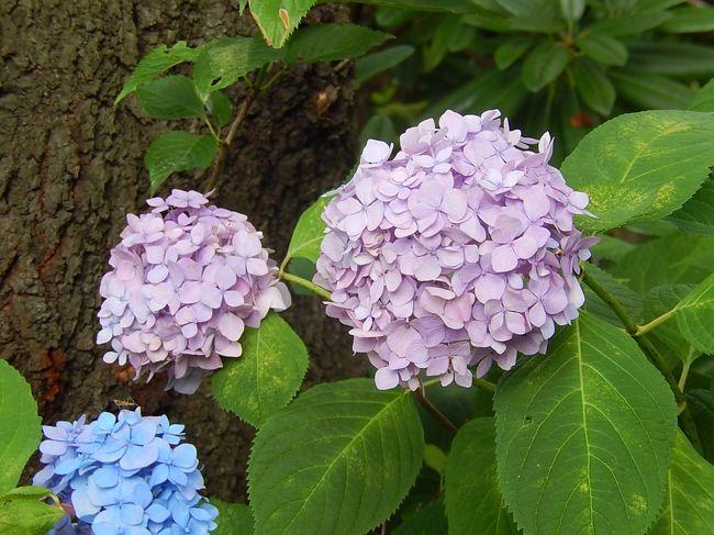 6月22日、午後1時過ぎに東御苑に入ってから、二の丸庭園での花菖蒲や二の丸雑木林でのオカトラノオ及びノリウツギ等を見た後、本丸の方へ移動した。 まず、天守台に上り、天守台より見られる風景を写真撮影した。 その後、本丸の周辺の通りを富士見多聞、松の廊下跡、野草の島と回って初夏に咲く紫陽花、ノリウツギ、リョウブ、ガクアジサイ、ホタルブクロ、ムラサキシキブ等を見た。<br /><br /><br /><br />*写真は富士見多門付近の紫陽花