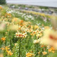 【カメラ旅】海を臨む丘に広がる舞洲ゆり園。ここでしか撮れないゆりの写真を撮る!