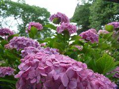 能護寺のアジサイ_2017(2)_花は残っていますが見頃は過ぎています。(埼玉県・熊谷市)