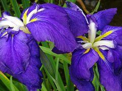 万博公園(2) 日本庭園の花しょうぶ田に咲く花菖蒲。
