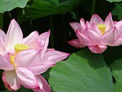 万博公園(3) 日本庭園のはす池に咲くハナハスの花。