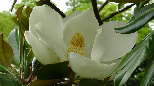 日本庭園付近に咲いていた、花菖蒲とハナハス以外に咲いていた花たちです。<br /><br />写真は、タイザンボクの花。