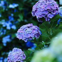 京都 紫陽花めぐり~丹州觀音寺、舞鶴自然文化園