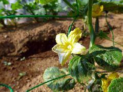 三島市佐野体験農園 初夏の花咲く畑 ブロッコリーの収獲 ジャガイモの土寄せ たい焼き たこ焼きのさんこう