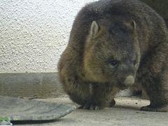 大阪池田市 五月山動物園・・・ウォンバットに会いに行く。